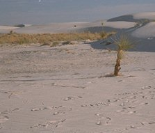 [Picture: Yucca on inter-dune flat after the dune has moved]