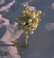 [Picture: Yucca buried-in-the-sand]